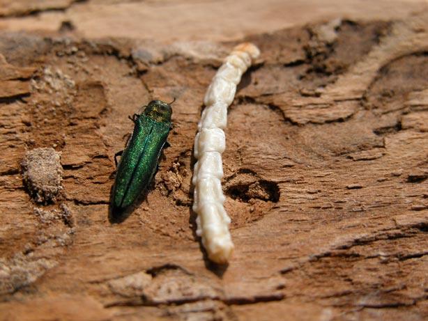 L'agrile du frêne est un insecte ravageur présent dans la région