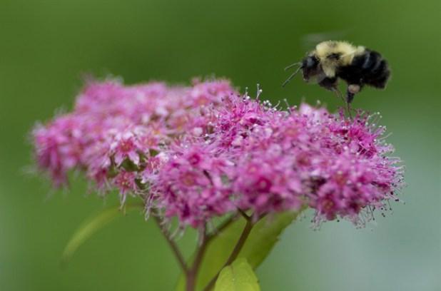 La population d'insectes pollinisateurs est en déclin.