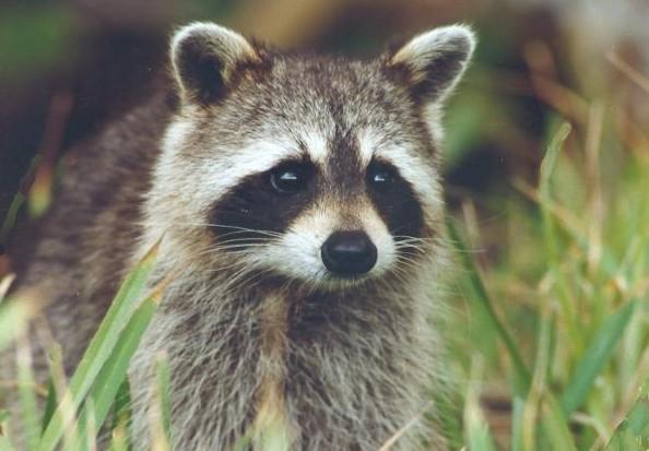 Opération de vaccination des animaux sauvages en Montérégie
