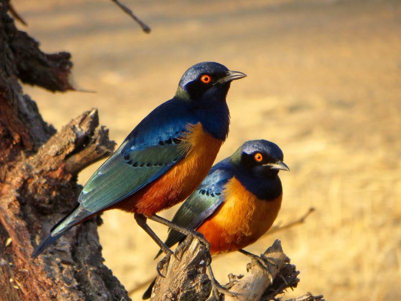 La Société d'ornithologie de la Vallée-du-Richelieu organise une soirée en Tanzanie, pays d'Afrique de l'Est qui abrite plus 1150 variétés d'oiseaux. La conférencière Clôde de Guise, ornithologue amateure qui a vécu en Tanzanie, invite les participants à découvrir le comportement fascinant d'une panoplie des oiseaux de la lointaine savane africaine.  La conférence aura lieu le 25 janvier à 19h à la Salle communautaire Stella-Desmarais, à côté du stationnement de l'église Saint-Hilaire, 260, chemin des Patriotes Nord, Mont-Saint-Hilaire. Gratuit pour les membres de la SOVDR, 5$ pour les non-membres. Info: sovdr.org ou au info@sovdr.org.
