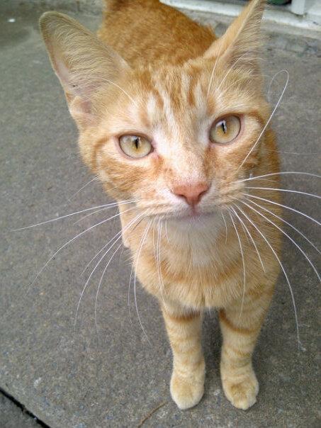 Les félins de la Vallée procédaient à la stérélisation puis à la remise en liberté de chats errants.