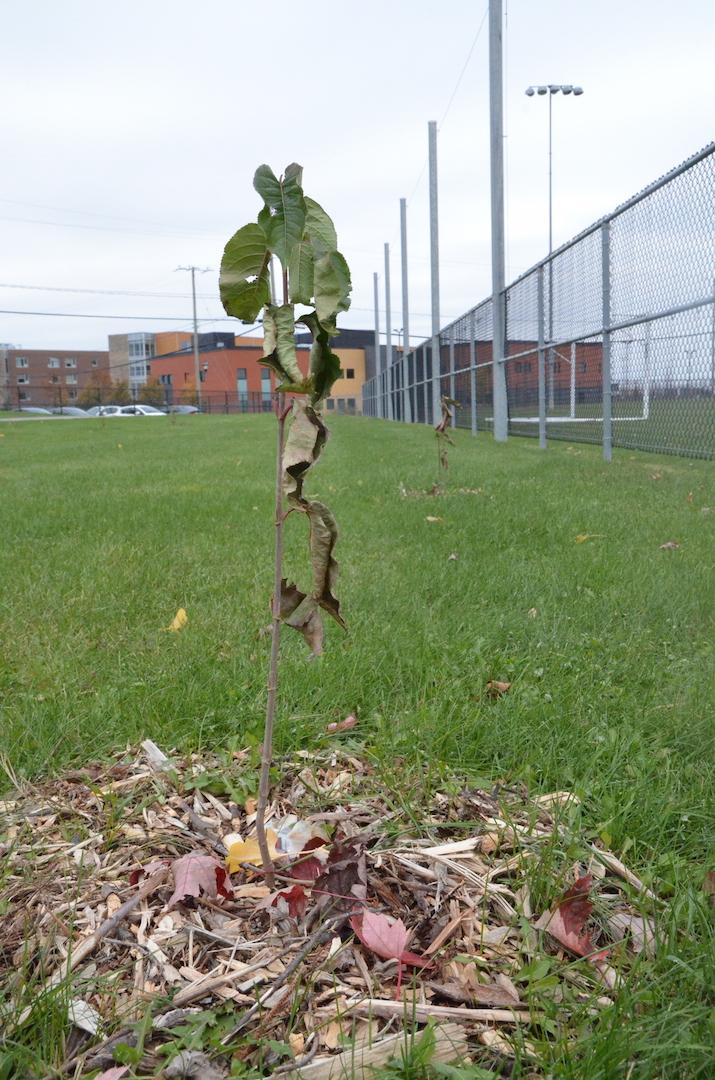 Une centaine d'arbres ont été plantés au parc Victor-Brillon dans le cadre de la journée des arbres TD, en septembre. Photo:Karine Guillet