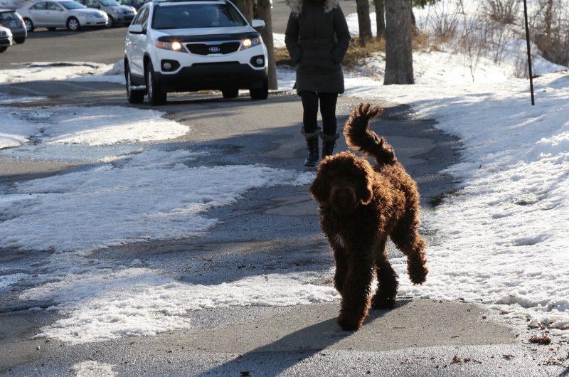Des propriétaires de chien utilisent le club de Golf Beloeil comme un parc à chien. Photo: Robert Gosselin.