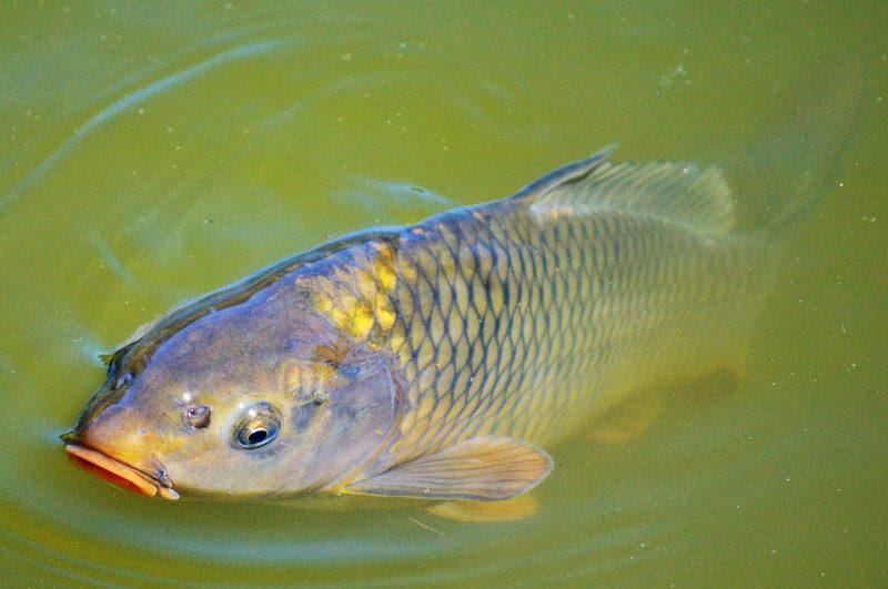 Le ministère de la Faune a détecté la présence d'une espèce envahissante, la carpe de roseau, dans la rivière Richelieu. Photo gracieuseté
